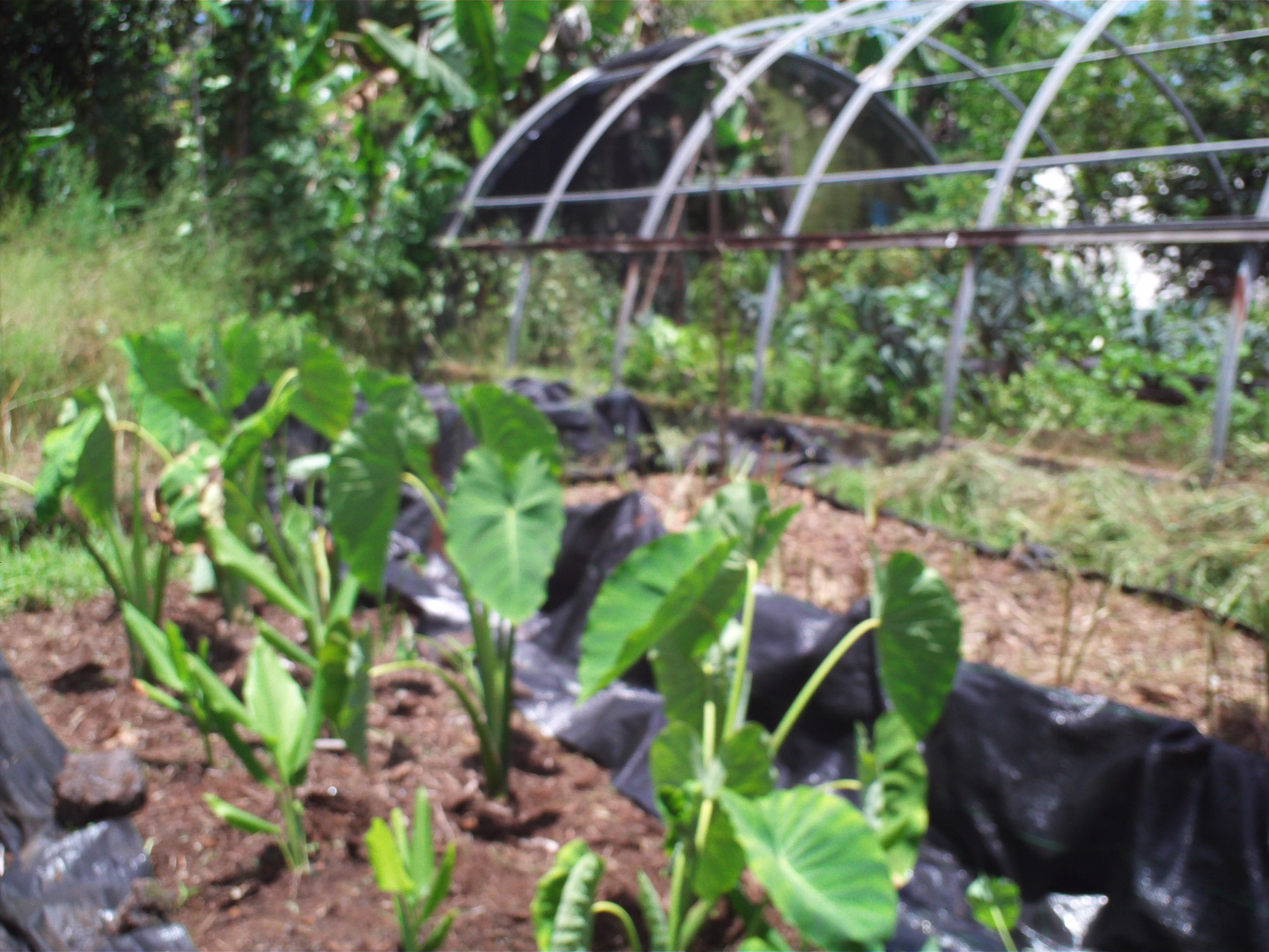 growing Taro