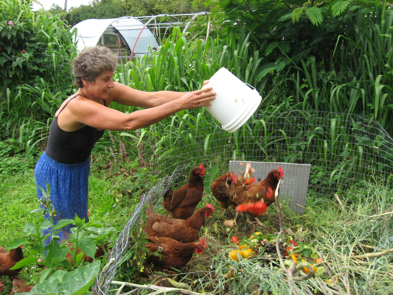 chickens-in-compost